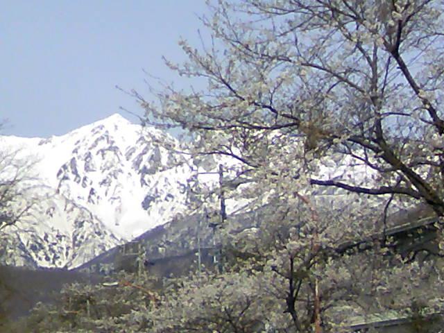 桜と雪山です