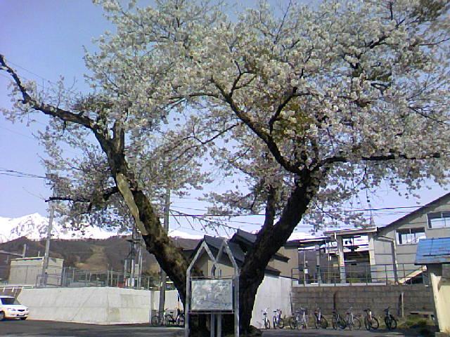 駅の老桜です