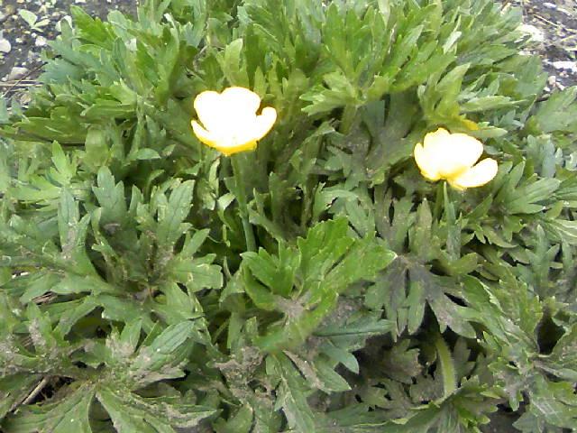 ミヤマキンポウゲが咲きましたぞ