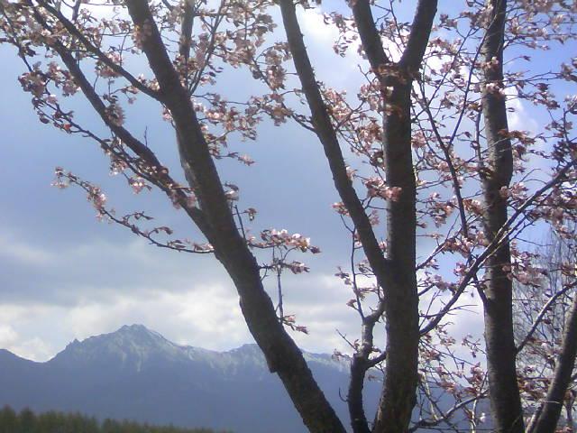 八ヶ岳の桜です