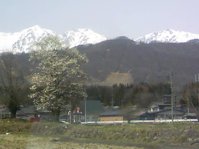 花と雪山の共演がはじまりました
