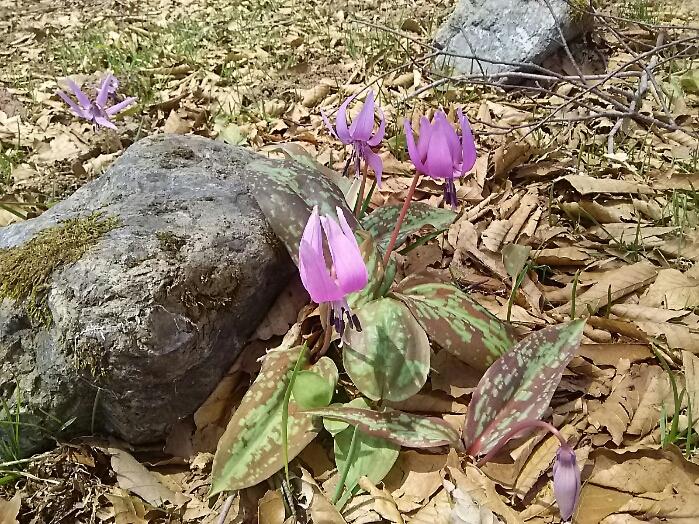 カタクリの花です。白馬岩岳の山頂